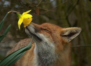 fox-flower