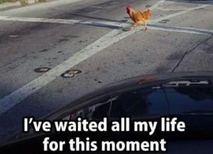chicken-crosses-rd